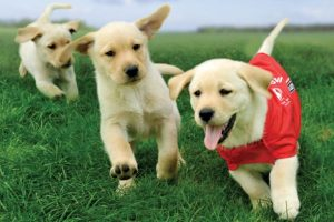 Three cute puppies in training as guide dogs play follow the leader with the lead puppy wearing a Blind & Low Vision New Zealand red jacket