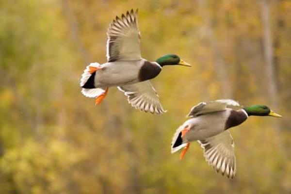 Duck duck going_ACCC
