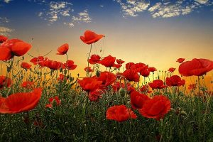 Anzac poppies