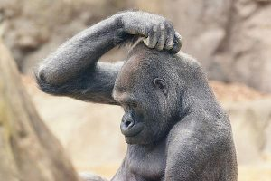 Half_intelligent_gorilla_zebra